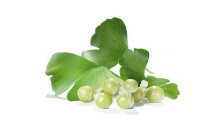 Ginkgo biloba - the composition of Titan Gel